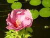 Water_hibiscus
